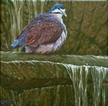 Purple Quail-dove by AFC