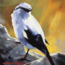 Reunion Cuckoo-shrike, Runion Cuckooshrike, Reunion Cuckooshrike, Runion Cuckoo-shrike by AFC
