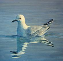 Black-billed Gull by AFC