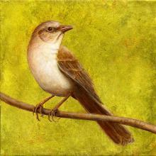 Socorro Mockingbird, Socorro Thrasher by AFC