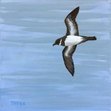 Polynesian Storm-petrel, Polynesian Storm-Petrel, Polynesian Storm Petrel, White-throated Storm Petrel by AFC