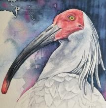 Asian Crested Ibis, Japanese Crested Ibis, Crested Ibis by AFC