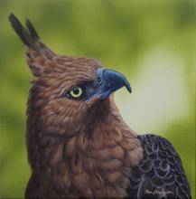 Javan Hawk-eagle, Javan Hawk-Eagle by AFC