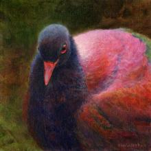 Black-naped Pheasant-pigeon by AFC