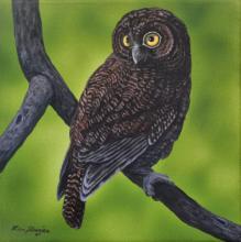 Anjouan Scops-owl, Anjouan Scops Owl by AFC