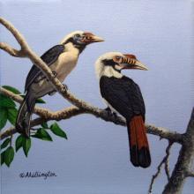 Mindoro Hornbill by AFC