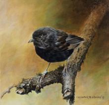 Black Robin, Chatham Islands Robin, Chatham Island Black Robin, Chatham Robin by AFC
