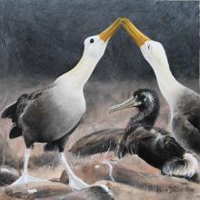 Waved Albatross by AFC