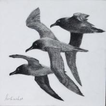 Sooty Albatross, Dark-mantled Sooty Albatross by AFC