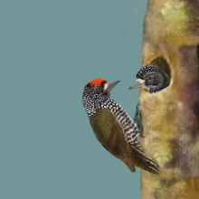 Speckle-chested Piculet by AFC