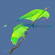 Sulu Racquet-tail, Blue-winged Racket-tail by AFC