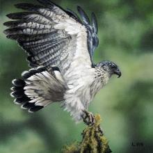 Grey-backed Hawk, Gray-backed Hawk by AFC