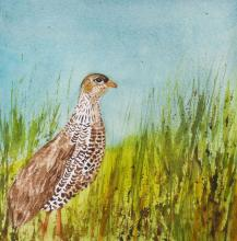 Mount Cameroon Francolin, Cameroon Francolin by AFC
