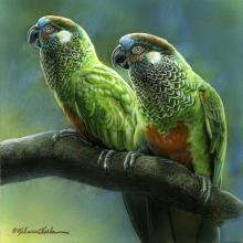 Sinu Parakeet by AFC