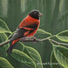 Red Siskin by AFC