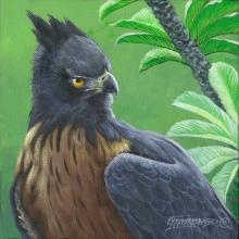Black-and-chestnut Eagle, Isidor's Eagle by AFC