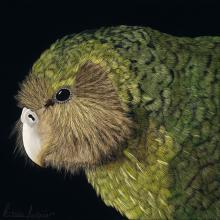 Kakapo, Owl Parrot by AFC