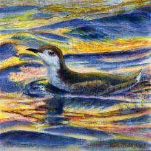 Guadalupe Murrelet by AFC