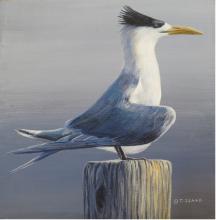 Chinese Crested Tern, Chinese Crested-Tern by AFC