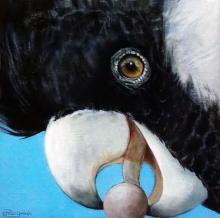 Short-billed Black-cockatoo, Short-billed Black Cockatoo, Carnaby's Cockatoo, Short-billed Black-Cockatoo, Slender-billed Black-Cockatoo by AFC