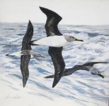 Grey-headed Albatross, Grey-headed Mollymawk, Gray-headed Albatross by AFC