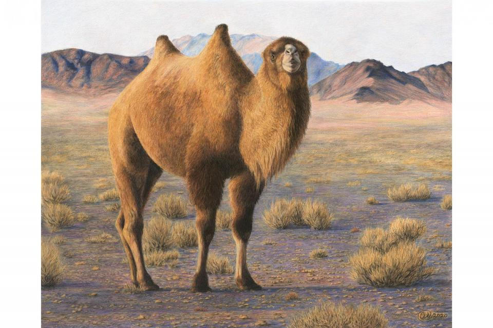 <em>Edit Conservation Project/Cause</em> King of the Gobi - The 8th most endangered large mammal on Earth   Charlotte Williams