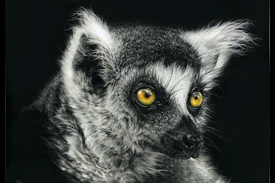 A Work in Progress drawing of a Lemur on scratchboard
