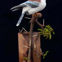 Female African Pygmy Falcon / Polihierax semitorquatus | Sculpture by Uta Strelive | Artists for Conservation 2018