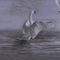 Aurora's Lavender, Mute Swans | Wallhanging by Roy Carretta | Artists for Conservation 2018