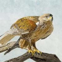 Ferrugenous Hawk | Wallhanging by Priscilla Baldwin | Artists for Conservation 2020