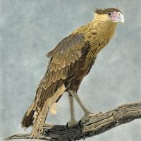 Juvenile Caracara | Wallhanging by Priscilla Baldwin | Artists for Conservation 2020