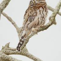 Pint-sized Predator: Pearl-spotted Owlet   Wallhanging by Walt Anderson   Artists for Conservation 2021