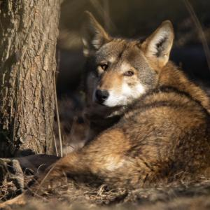 Photographing Red Wolves with Sandy Brooks
