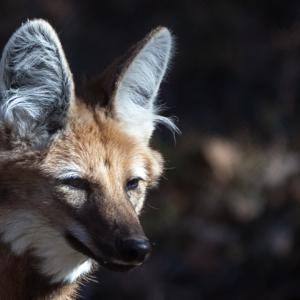 Photograph Mexican Wolves and Pups, Possibly Swift Foxes with Sandy Brooks